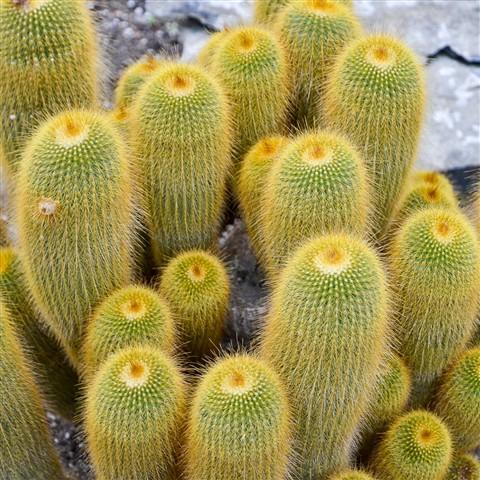 Big family of cactus