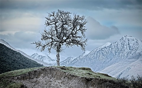 Lone Tree, Paradise Valley, NZ