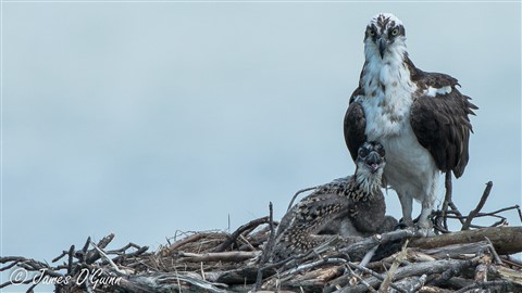 Osprey - Parent & Baby - Better
