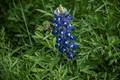 Bee-Utiful Blue Bonnet
