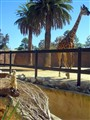 Adelaide Zoo - Meerkat and Giraffe 2