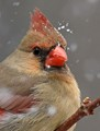 North Cardinal Female