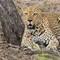 Leopard_chill