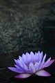 waterlily. 177