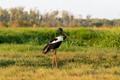 Jabiru - Black-Necked Stork