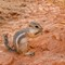 Antelope Ground Squirrel Valley of Fire