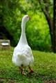Unpolite Duck