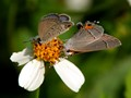 Ceraunus Blue and Hairstreak on Bidens Alba