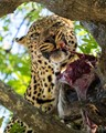 Tree leopard having dinner, indicating no intention to share