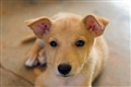 Robby, my Avuvi puppy