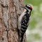 Downy Woodpecker 1 Origwk1_MG_1627