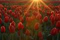 Tulip Sunrise 2