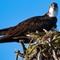 Little Spokane Osprey-20150719-0010
