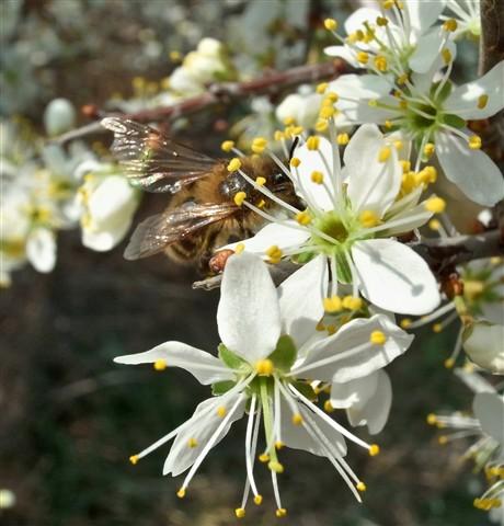 Abeja y flor de arañon