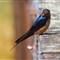 barn swallow  _MG_3645