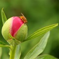 An insect on a flower bud