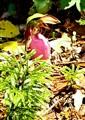 pink ladyslipper1