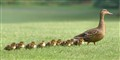 Nine little Mallards all in a row