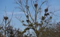 Spotted near Bistroff, Moselle, France. I have never seen so many white storks in one place.