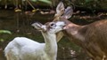 Piebald fawn shows a little affection for mom