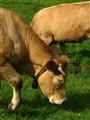 grass becomes golden calf