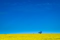 Canola field near Ballarat, Australia