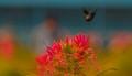 Flight-Black flower beetle-moving towards