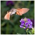 Hummingbird hawk-moth (Macroglossum stellatarum) in La Thuile, Italian Alps