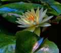 water lily1