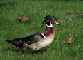 Wood Duck in Maplewood Hts
