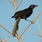 1-19-17 Great Tailed Grackle Male 2