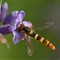 hover fly2