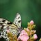 butterfly_macro_h