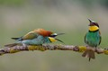 A bee-eater couple