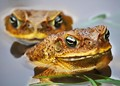 Cane toads not fossilizing!