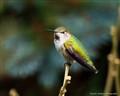 Anna Humingbird 2