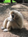 Thinker - Monkey - Southwick Zoo MA