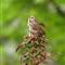 song_sparrow_1984