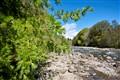 Larch beside River Tilt, Perthshire.