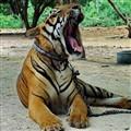 Tiger Temple, Kanchanaburi, Thailand