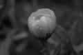 Black and white flower under the rain