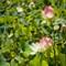 dpr-lotus