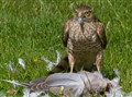 Sparrowhawk with prey