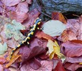 salamander in autumn