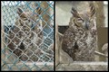 Before and After Rescue Owl