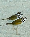 Two Killdeer