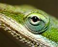 eye of the lizard