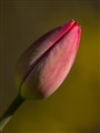 Tulip bud reaching for late afternoon sun