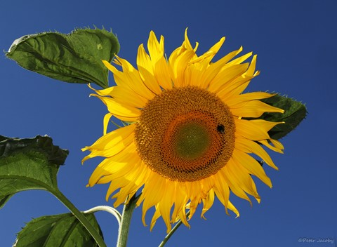 IMG_8449_SunFlower__edit2