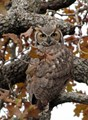 Great Horned Owl at Home